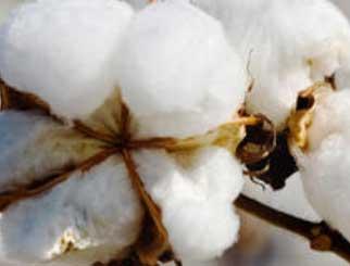 短期国际棉价预计继续保持上涨趋势