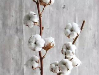 棉花生长阶段及影响因素 棉花期货入门知识