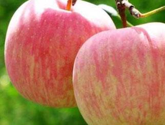 苹果的特点与产业发展历程之苹果的特点