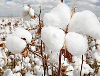 棉花:基本面预期良好 上涨动力仍在