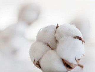 """《农产品期货》:""""白金""""之花满枝绽——棉花的生长周期"""
