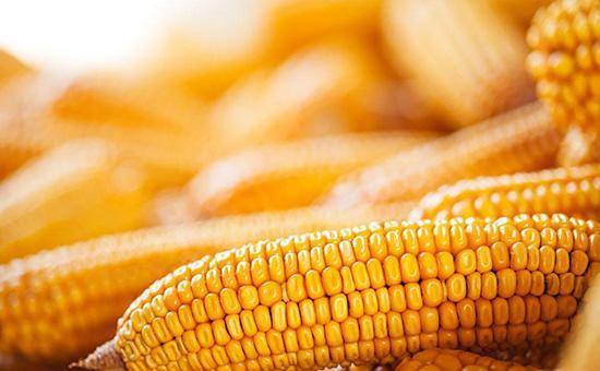 临储拍卖不及首轮火爆 玉米价格难有大涨可能