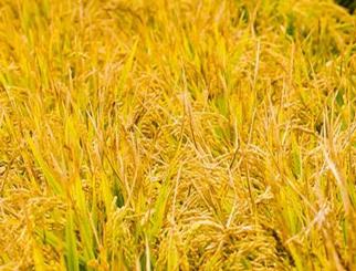 粳米是什么意思 粳米期货简介