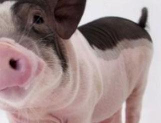 简化流程 明晰责任 大商所制定疫情处理制度保障生猪期货稳定运行